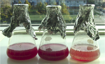 Sunlight to Electricity: With a little help from some purple bacteria